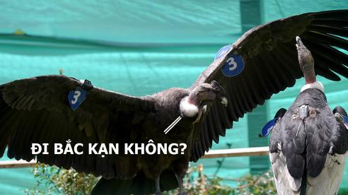 Chiêm ngưỡng thần ưng có thể bay một phát từ Hà Nội về Bắc Kạn mà không cần đập cánh