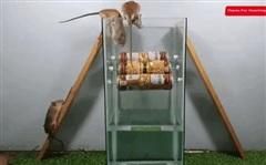 Tự tạo máy bắt chuột hiệu quả mà không hề tốn kém