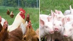 Vì sao Hà Nội cấm nuôi lợn, gà ở 12 quận từ 1/8?
