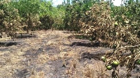 Nghi vườn cam xã Đoài đến ngày thu hoạch bị đốt cháy