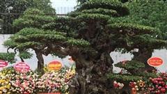 Chiêm ngưỡng cây sanh cổ 'Tiên lão giáng trần' được đại gia Phú Thọ chi 28 tỷ mua về
