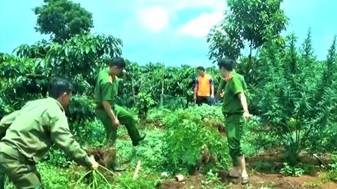 Phát hiện hộ dân trồng 78 cây cần sa trong vườn cà-phê