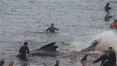 Hàng trăm cá voi bị tàn sát nhuộm đỏ cả vùng biển