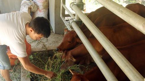 Cận cảnh 'biệt thự' bò của người Ơ Đu ở Nghệ An
