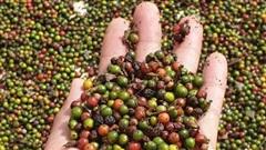 Giá cà phê hôm nay 26/7: Cuối tuần đi ngang, hồ tiêu neo mức 49.500 đồng/kg
