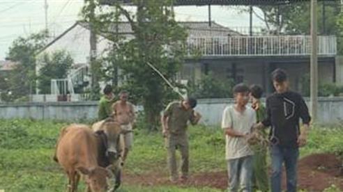 Thanh niên trộm bò, đưa bò đi 170km tiêu thụ