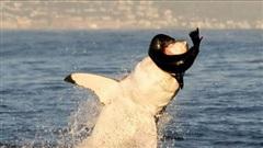 Cá mập trắng 'phi thân' nuốt chửng hải cẩu