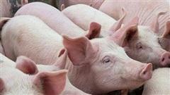 Tiếp tục tăng nhập khẩu thịt lợn và lợn sống để giảm giá thịt lợn