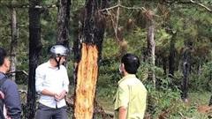 Gia Lai: Rừng thông hàng chục năm tuổi ở Đăk Đoa tiếp tục bị xâm hại