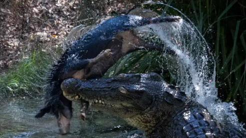 Cá sấu 60 tuổi quật xác, xé vụn lợn hoang nhanh như chớp