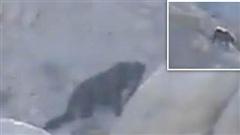 Mỹ xuất hiện quái vật chân to Bigfoot