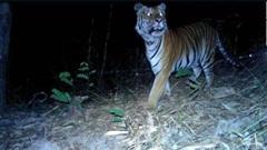 Phát hiện 3 con hổ Đông Dương ở Thái Lan