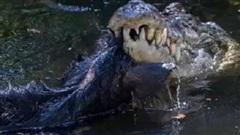Kinh hãi cảnh cá sấu khổng lồ xẻ thịt lợn rừng