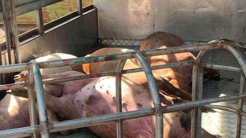 Xin 8 con lợn chết tím tái về xẻ thịt bán