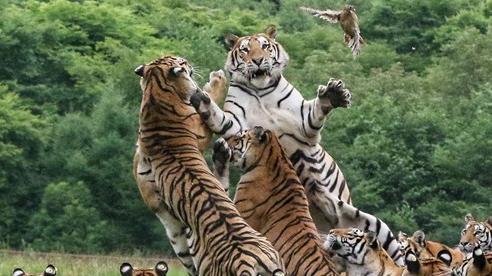 24h qua ảnh: Những con hổ Siberia tranh cướp nhau trong giờ ăn