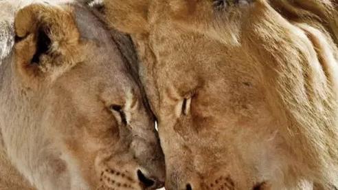 Cặp sư tử già cỗi được an tử cùng lúc để không con nào phải nếm trải nỗi cô đơn trên cuộc đời