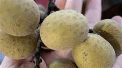 Nông dân tiết lộ loại nhãn ngon nhất Hưng Yên, có tiền khó mua