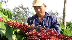 Giá cà phê ngày 6/8, bất ngờ giảm sâu 500 đồng/kg, hồ tiêu đi ngang
