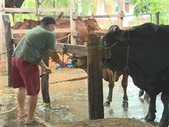 Đắk Lắk: Bắt quả tang cơ sở bơm nước vào bụng bò trước khi giết mổ
