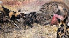 Linh cẩu chơi kiểu bầy đàn, chó hoang bất lực mất mồi