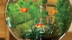 Lợi ích không ngờ khi nuôi cá cảnh trong nhà