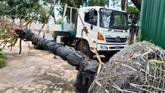 Khai thác trái phép mai rừng ở Đắk Nông