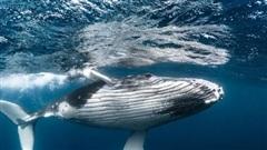 Cá voi đáng giá bao nhiêu?