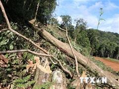 Gia Lai phát hiện vụ phá rừng quy mô lớn với hàng trăm cây gỗ quý hiếm