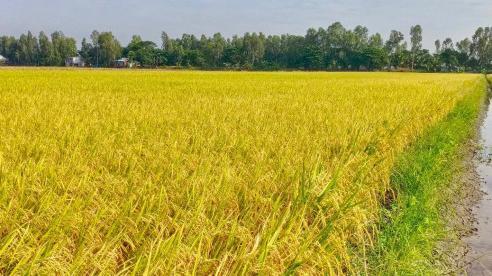 Bí kíp bón phân giúp tăng năng suất lúa – kinh nghiệm từ một lão nông