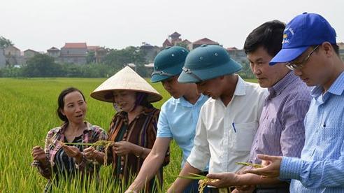 Đẩy mạnh tiêu thụ lúa, gạo Japonica