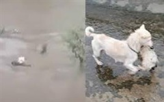 Xúc động cảnh chó mẹ nhảy xuống dòng nước lũ cứu con, bất chấp sự can ngăn của cảnh sát