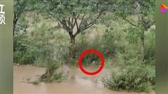 Bất chấp lũ chảy xiết, chó mẹ quên mình nhảy xuống nước cứu con