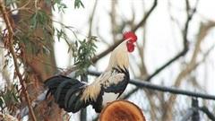 Italia: Bị phạt 200 USD vì để gà trống gáy quá sớm