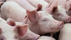 Giá thịt lợn tại các địa phương 'hạ nhiệt'