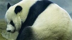 Gấu trúc khổng lồ tại Trung Quốc mang thai