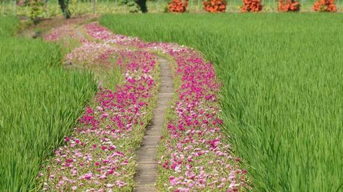 Mê mẩn con đường hoa mười giờ đẹp và lãng mạn nhất Việt Nam