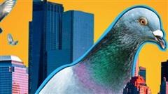 Chim bồ câu đã xâm chiếm toàn bộ các thành phố của Mỹ như thế nào?