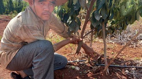 CLIP: Kẻ lạ mặt nhẫn tâm 'tàn sát' 500 gốc cây ăn trái của 1 gia đình nông dân