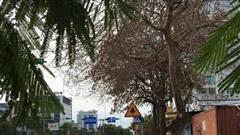 Kẻ xấu khoan lỗ, đổ hóa chất bức tử hàng loạt cây xanh trên phố Hải Phòng