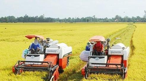 Lúa Hè Thu tại ĐBSCL được mùa, được giá