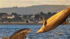 Thích thú ngắm cá heo 'chơi bóng chuyền' ngoài khơi bờ biển Scotland