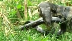 Hổ mang chúa 'say đòn' tưởng chết dưới tay kỳ đà nước: Điều gì giúp nó sống sót phút cuối?