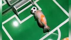 Lý thú cảnh cá vàng... đá bóng
