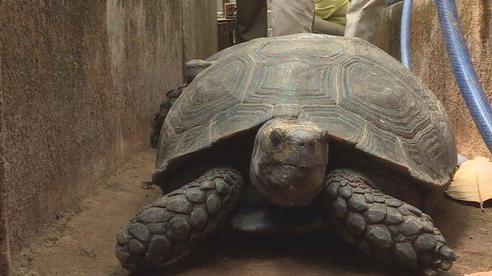 Bị khởi tố vì nuôi nhốt 47 rùa hộp trán vàng quý hiếm