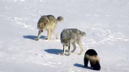 Đối mặt đôi sói dữ, chồn sói bé tí thắng giòn dã