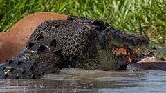 Đàn cá sấu khổng lồ kịch chiến tranh cướp mồi