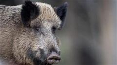 Lo ngại dịch tả châu Phi, Hàn Quốc cấm nhập khẩu thịt lợn từ Đức
