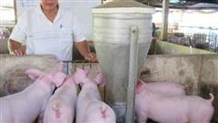 Giá heo hơi hôm nay 11/9: Thịt heo tăng giá do người nuôi vẫn dè dặt tái đàn?