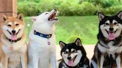Con chó Shiba Inu nổi tiếng cộng đồng vì chuyên phá hỏng các bức ảnh chụp nhóm