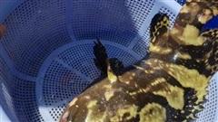 Cá mú, tôm hùm rớt giá: Dân nuôi thê thảm, người mua chịu giá đắt